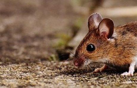 הדברת עכברים: איך נפטרים מהם?